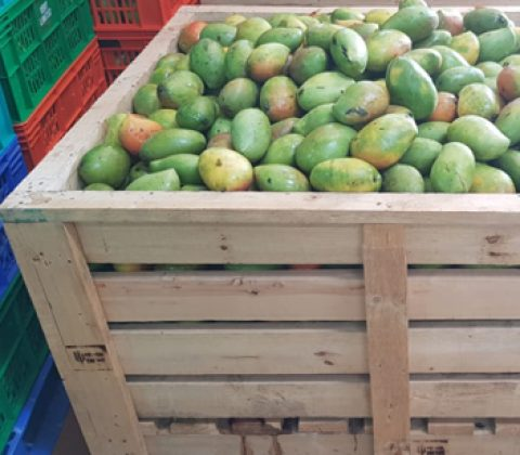 Mango Rippening Crates